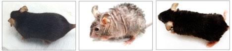 Aging mice.