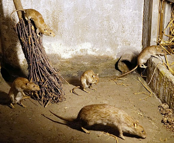 Rat plague coming. Photo.