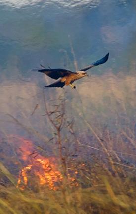 Firehawk, Australia, Raptor, Fire.