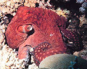 Octopus, Photo.