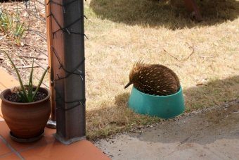 Echidna in dog's water bowl