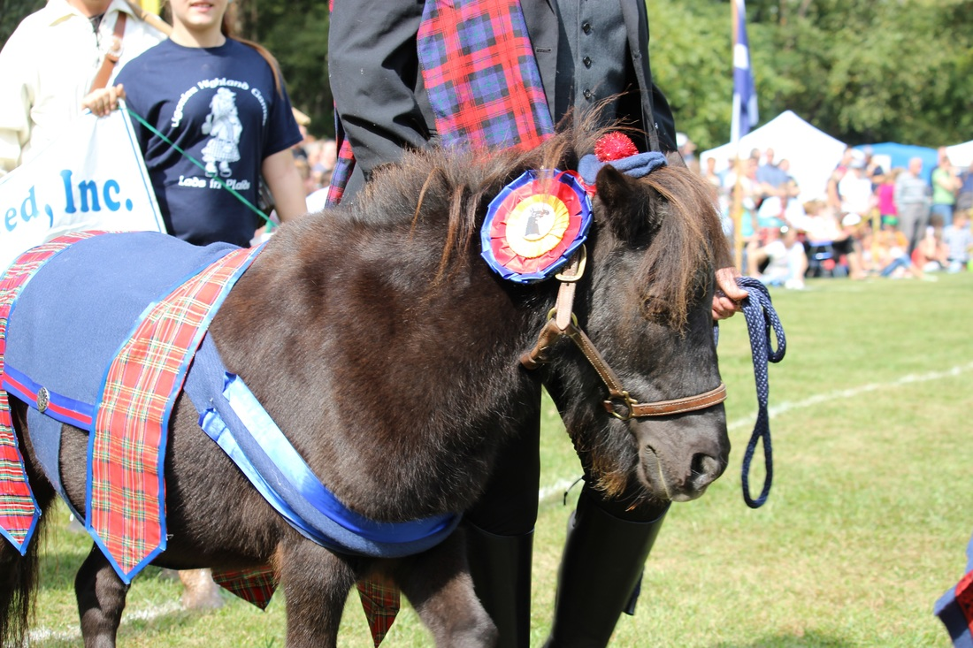 scottish pony