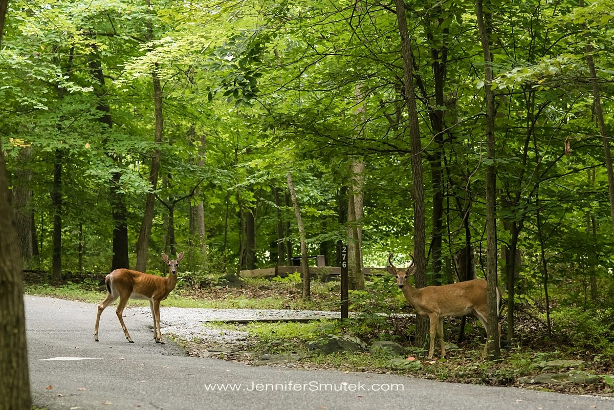 Deer at patapsco valley state park