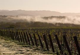 The morning fog over Bow Tie Vineyard.