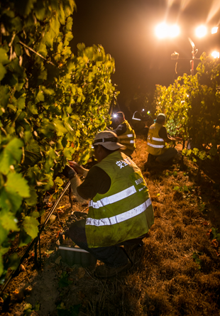 Bow Tie vineyard during night harvest.