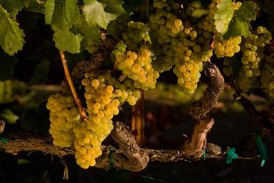 Chardonnay Clone 4.
