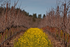 River Road Vineyard with Mustard.