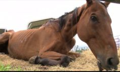 Former racehorse met with tragic fate in retirement