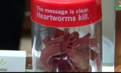 Drug-resistant heartworms found in Louisiana