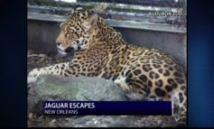 Jaguar Escapes Audubon Zoo