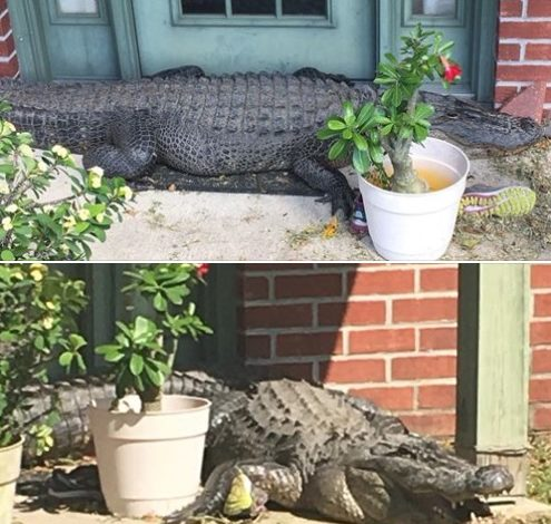 St. Martin resident finds gator at the front door