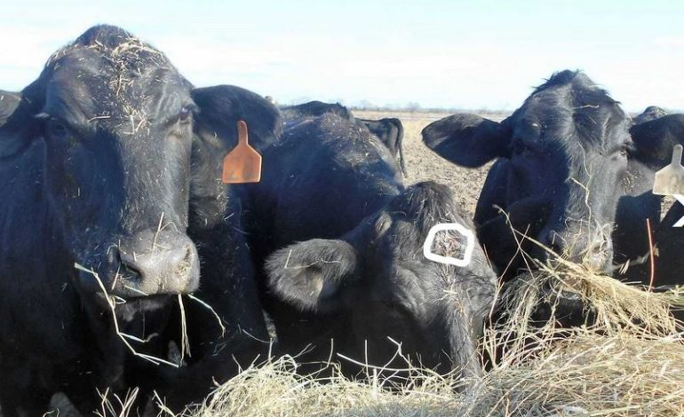 Officials in Jeff Davis Parish Seeking the Person Responsible for Shooting Cattle in the Head