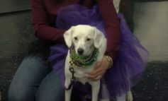 Krewe Des Chiens Dog Parade returns