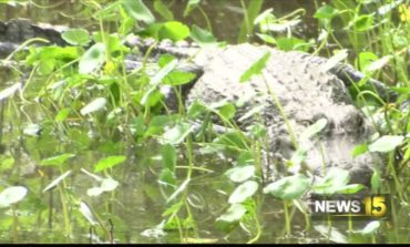 UL Lafayette warns students and faculty about alligator mating season