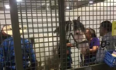 Cruelty Case Horse Given A New Purpose In Life After Major Surgery