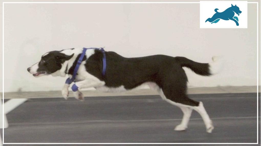 salto de um cão