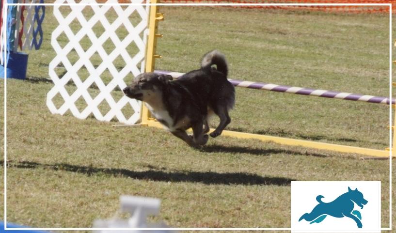 cães de competição