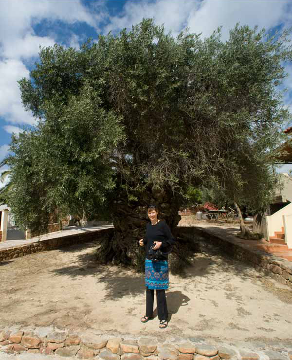 World's oldest olive tree and the truth about olive oil