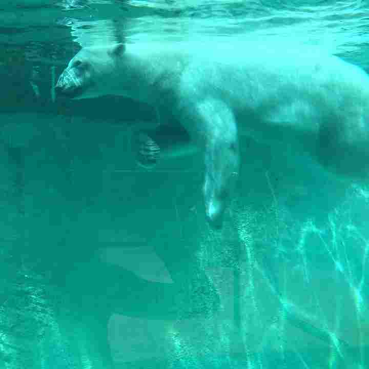 a polar bear that's swimming in cold water, used as an analogy for cold therapy