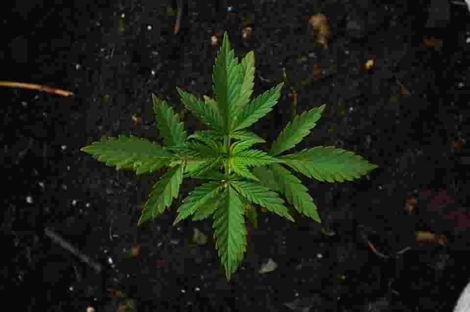 cannabis as drug that does less harm than junk food