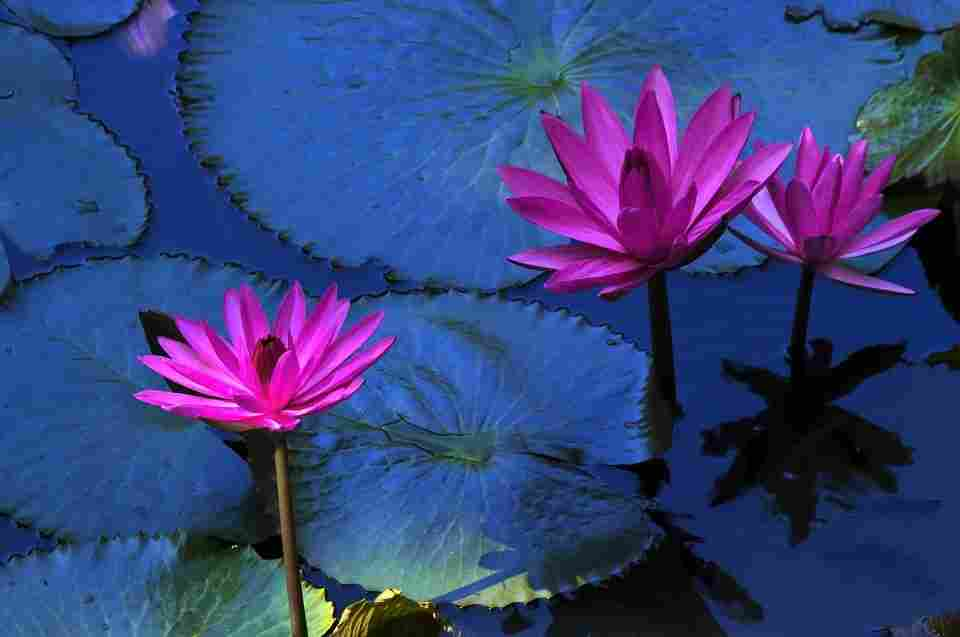 flowers in water that exemplify peace and serenity