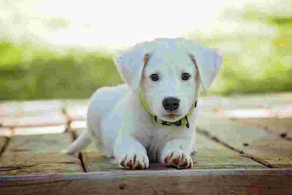 a pale puppy that's an analogy for an iron deficiency anemia