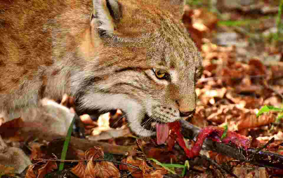 a lynx eating a red foodstuff which is an analogy for the fact that not everything suffices as red light therapy