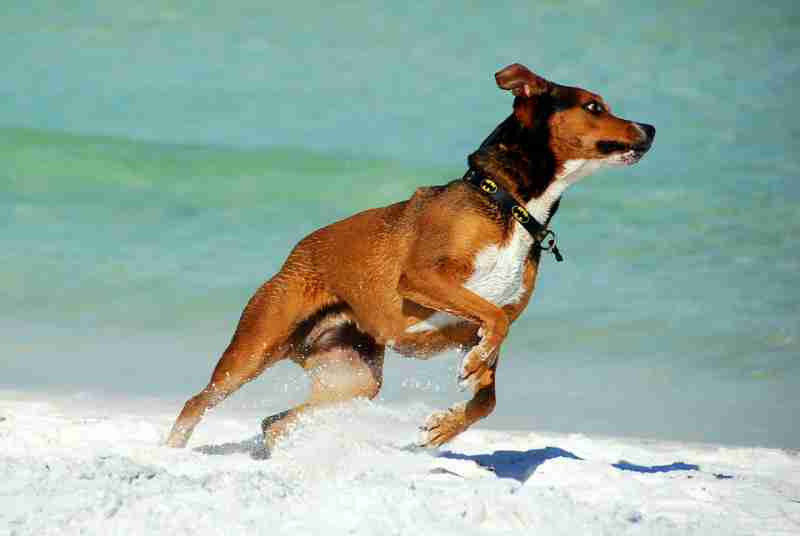 a dog that is running on the beach, having too much energy