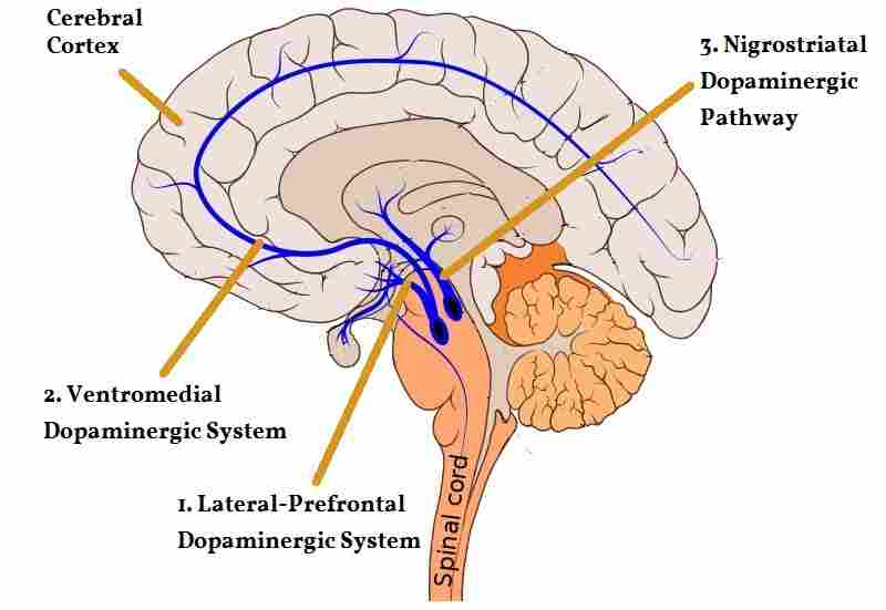 a visual presentation of the dopaminergic system in the brain