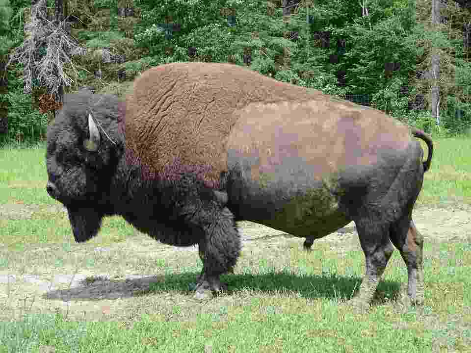 a picture of a bison, a perfect meat cut for on the carnivore diet
