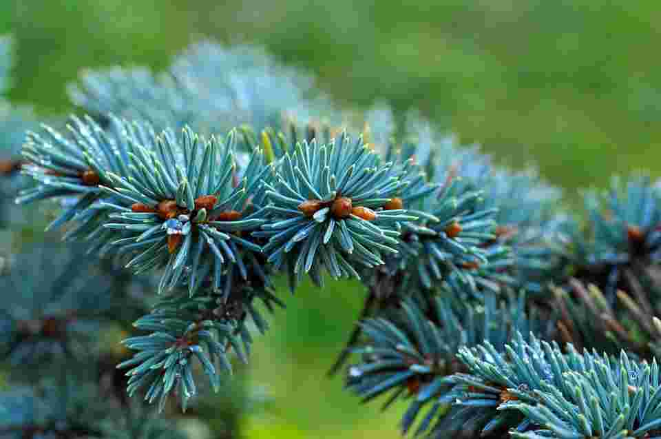 pines as a living wall against air pollution.
