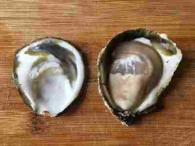 a pictuer of an European flat oyster