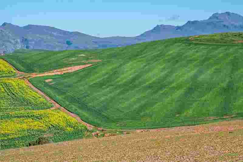 a canola field