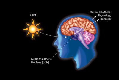 cold and light affect the circadian rhythm