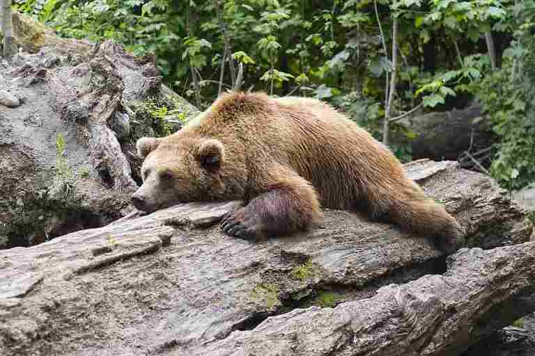 a sleeping bear exemplifying how lazy and slow you get from THC