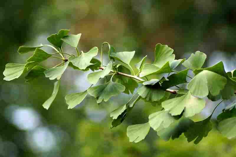 ginko biloba leaves