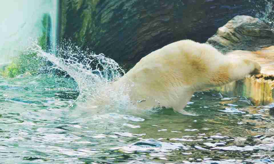 bear plunging in water