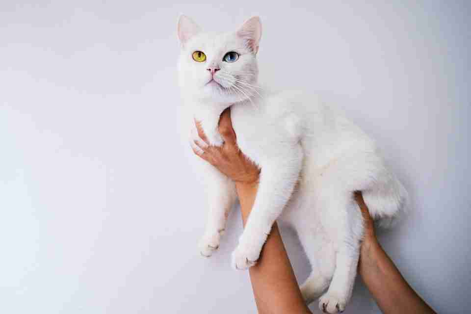 cat with different colored eyes that says that humans are weird becasue humans have the same eye color - a sign of the benefits of self esteem