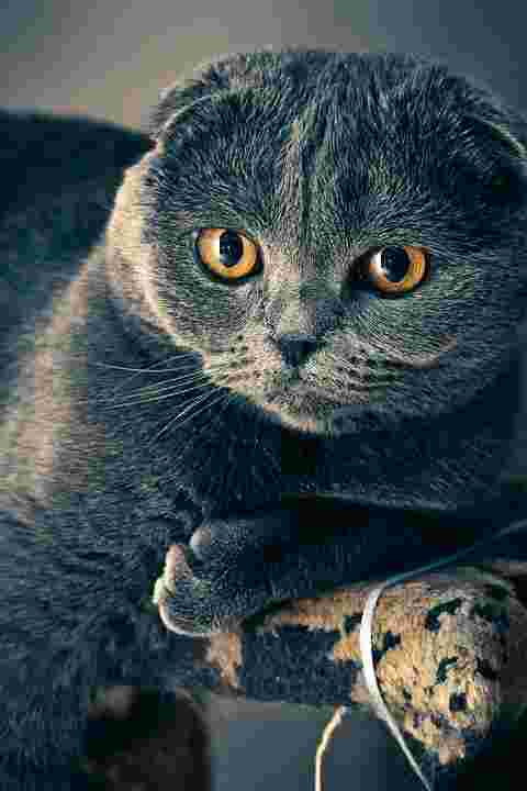 picture of a cat that emits animal dander