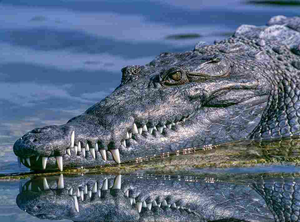 a crocodile with teeth which is an analogy for the oral benefits of LLLT