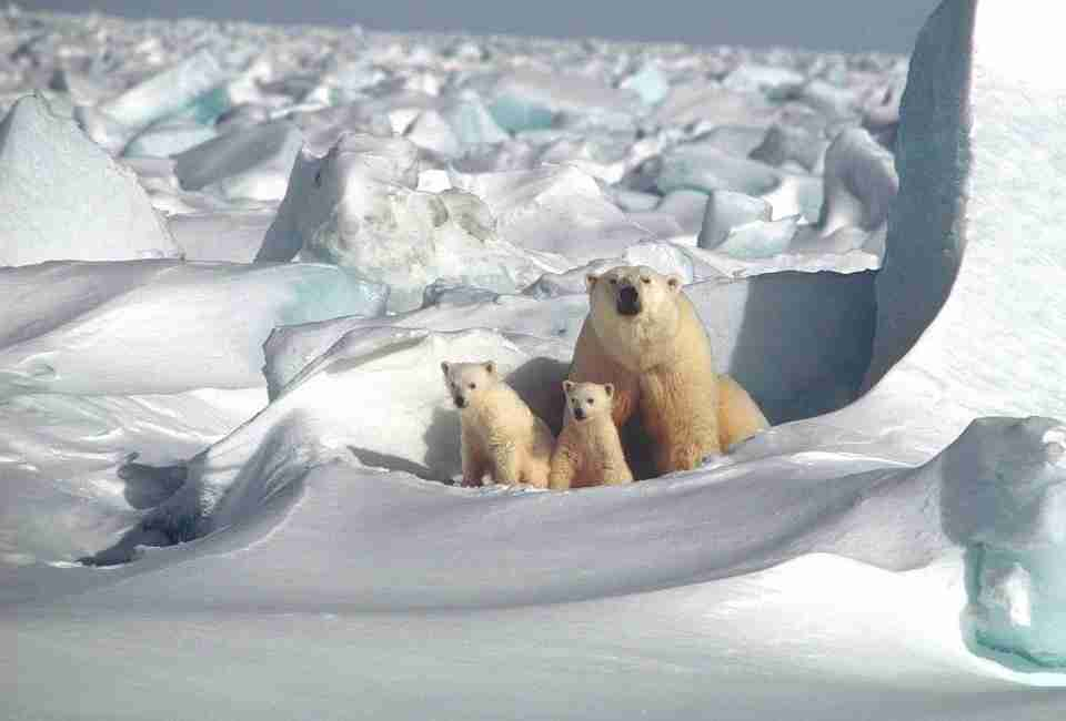 ice bears hibernation