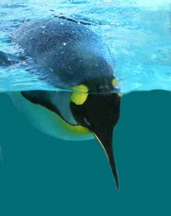 penguin plunging in water with face as an analogy for the human dive reflex