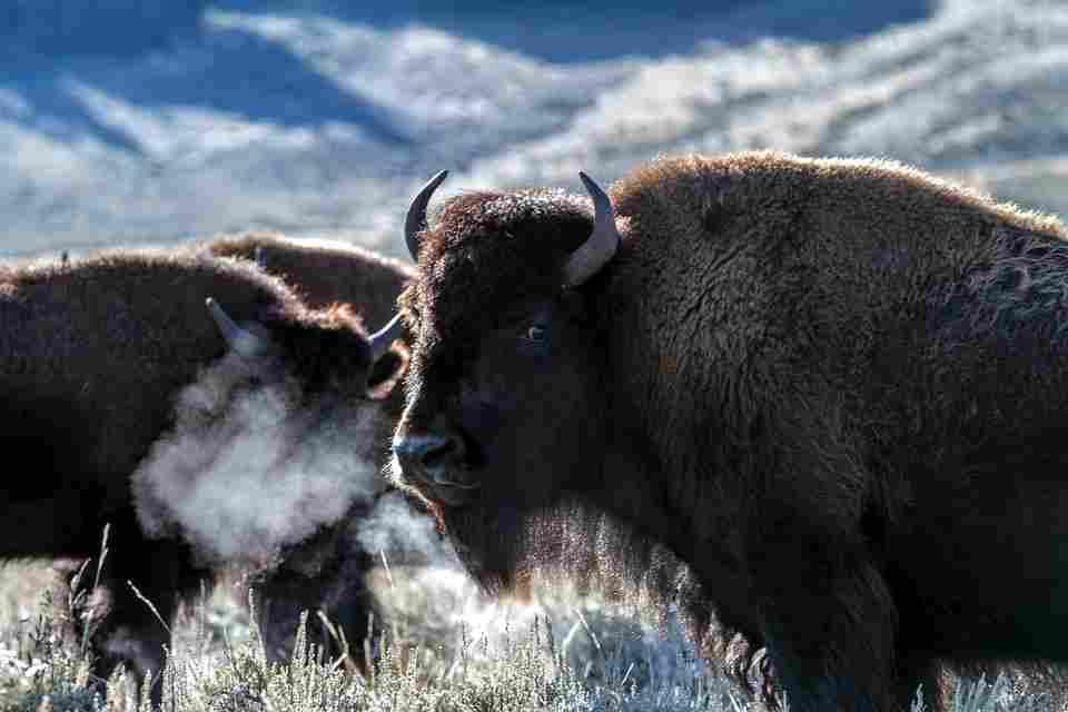 bison as an excellent zinc source