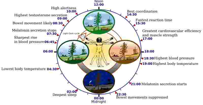 the human circadian rhythm schematically displayed, with peak times of certain biological processes