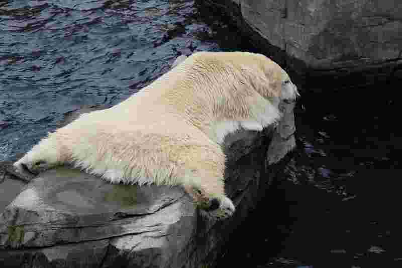 a sleeping polar bear that is very tired