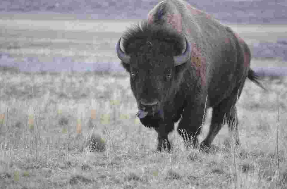 picutre of a bison that demans salt, which lowers stress levels through lowering adrenaline and cortisol