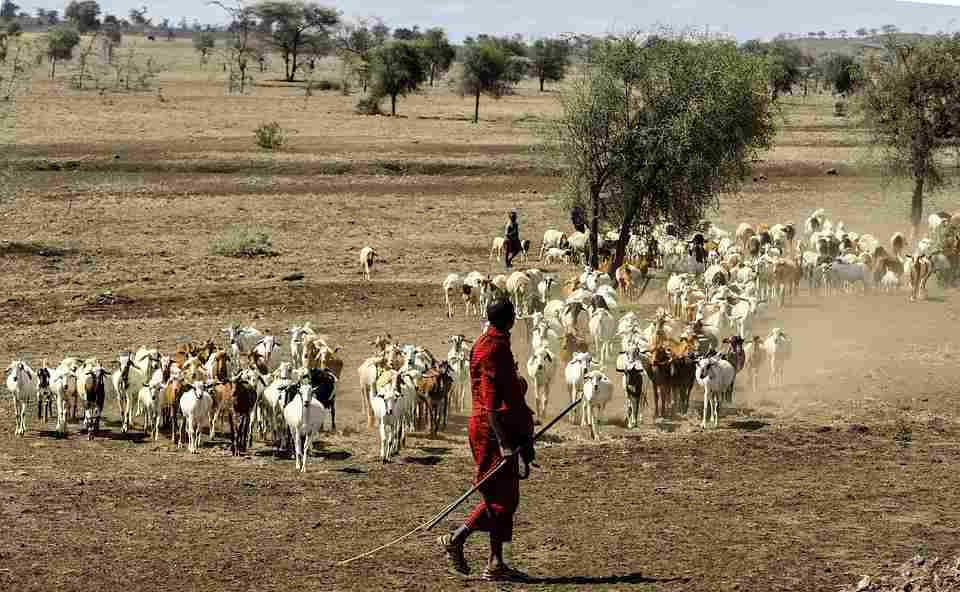 maasai herders livestock for nutrition