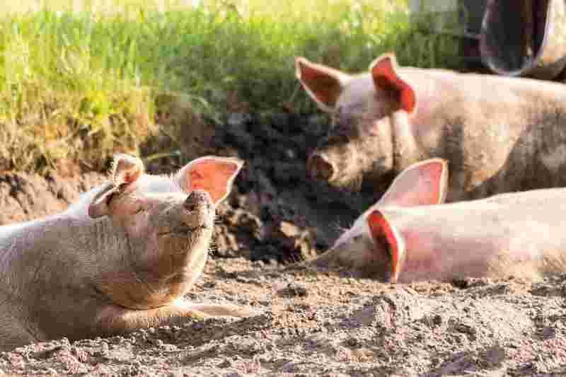"""pigs"