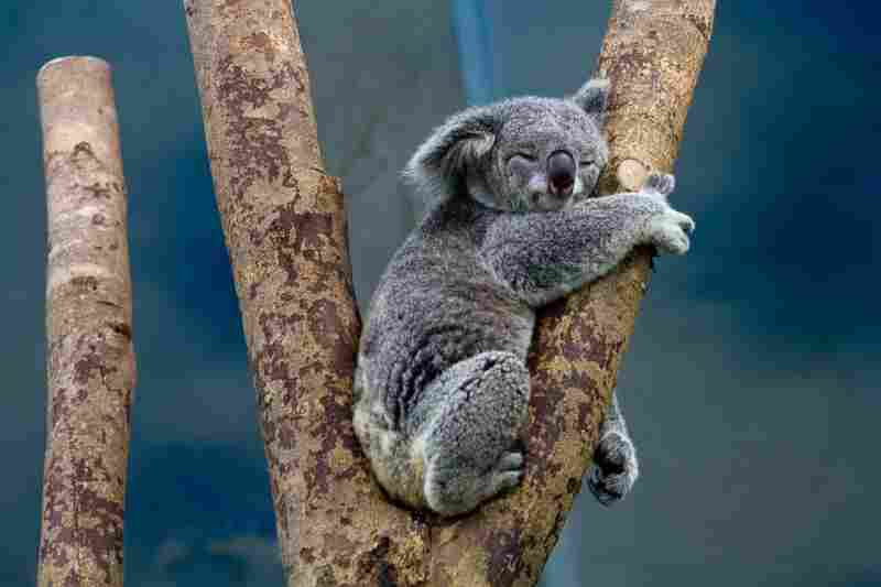 a koala bear that's really happy and in the moment, exemplifying animals' natural presence