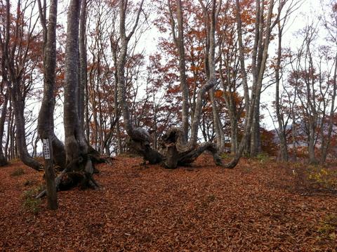 大嵐山展望コースのブナ林
